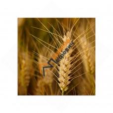 Самостоятельный сегмент модульной картины «Пшеница»